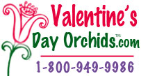 Valentines Day Orchids